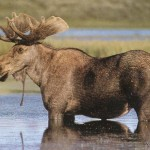 Elk standing in water.