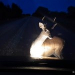 Deer in Head Lights